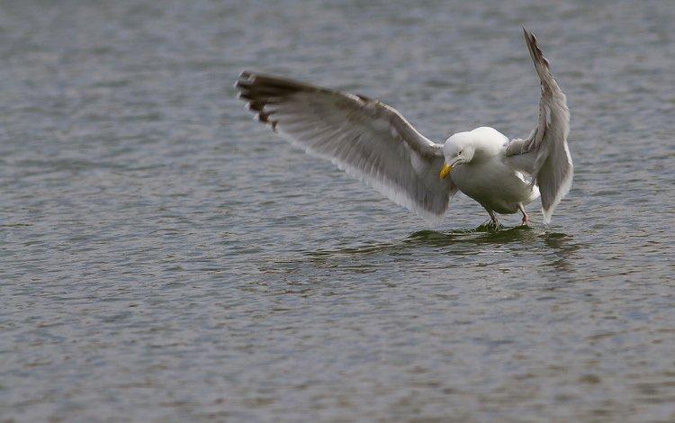 вода, крылья, чайка, птица, клюв, перья, взмах, water, wings, seagull, bird, beak, feathers, stroke
