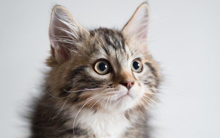 портрет, кошка, киса, коте, portrait, cat, kitty, kota
