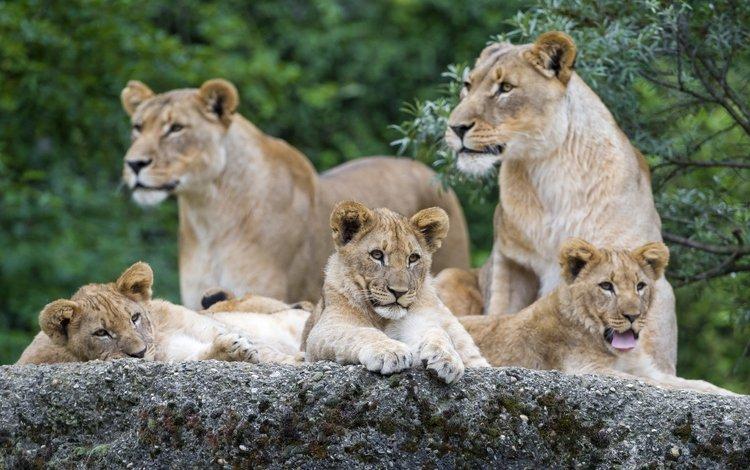 камень, ©tambako the jaguar, кошки, львы, семья, львята, язык, львица, зевает, stone, cats, lions, family, the cubs, language, lioness, yawns