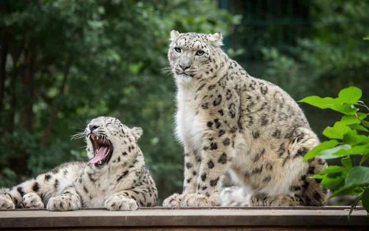 пара, кошки, снежный барс, зевает, ирбис, pair, cats, snow leopard, yawns, irbis