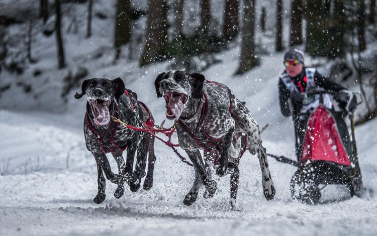 фон, гонка, спорт, собаки, background, race, sport, dogs