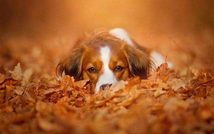 морда, природа, листья, взгляд, осень, собака, коикерхондье, face, nature, leaves, look, autumn, dog, kooikerhondje