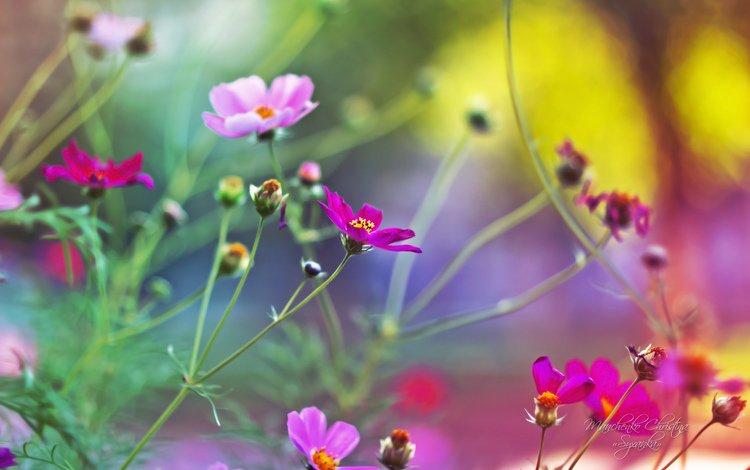 цветы, размытость, розовые, нежные, космея, кристина манченко, flowers, blur, pink, gentle, kosmeya, christina manchenko