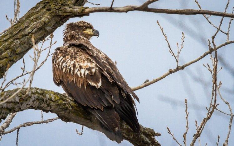 хищник, птица, молодой, белоголовый орлан, predator, bird, young, bald eagle