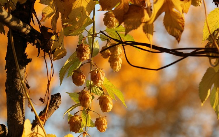 природа, осень, растение, хмель, nature, autumn, plant, hops