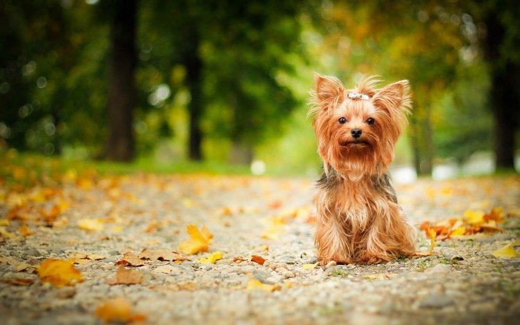взгляд, осень, собака, друг, йорк, йоркширский терьер, look, autumn, dog, each, york, yorkshire terrier