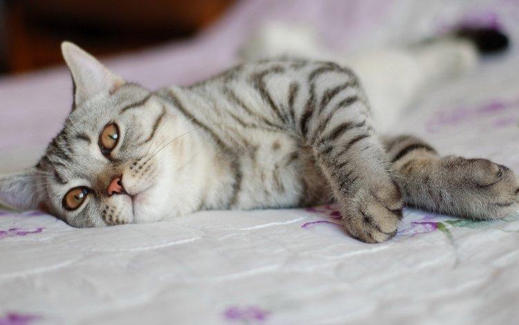 поза, кот, кошка, кровать, койка, pose, cat, bed