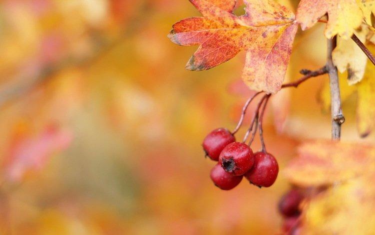 осень, ягоды, плоды, боярышник, hawthorn berries, autumn, berries, fruit, hawthorn