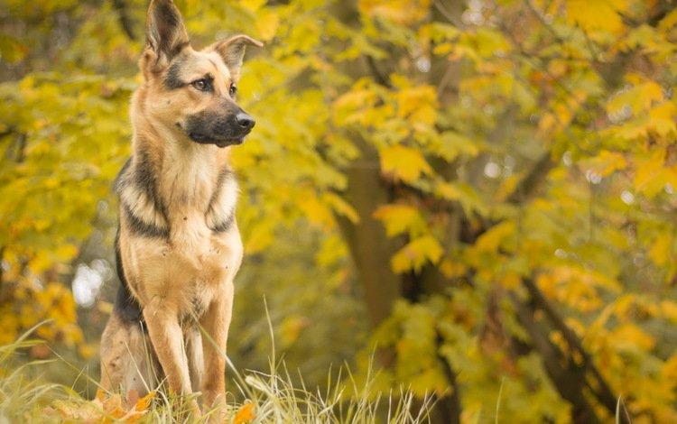 взгляд, осень, собака, друг, овчарка, look, autumn, dog, each, shepherd