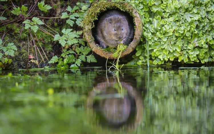 вода, the rat molehill, растения, зеленая, труба, заводы, крыса, нора, водяная полёвка, грин, water, plants, green, pipe, rat, nora, water vole