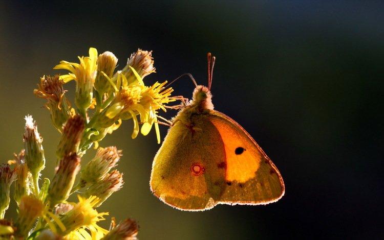 природа, макро, насекомое, цветок, бабочка, nature, macro, insect, flower, butterfly