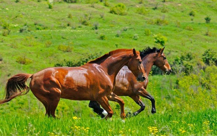трава, поле, пара, лошади, кони, два, двое, коричневые, скачут, jump, grass, field, pair, horse, horses, two, brown