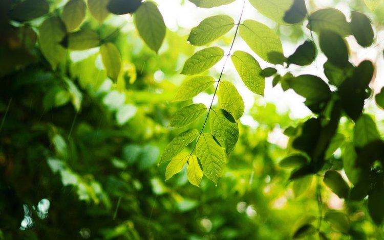 ветка, листья, капли, зеленые, branch, leaves, drops, green