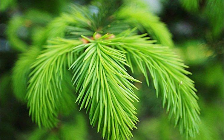 ветка, хвоя, макро, иголки, branch, needles, macro