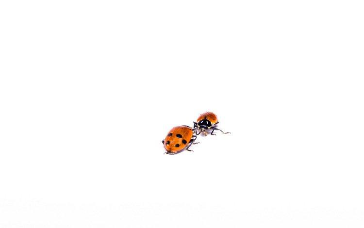 ladybugs, ladybug, chuck, hippodamia variegata