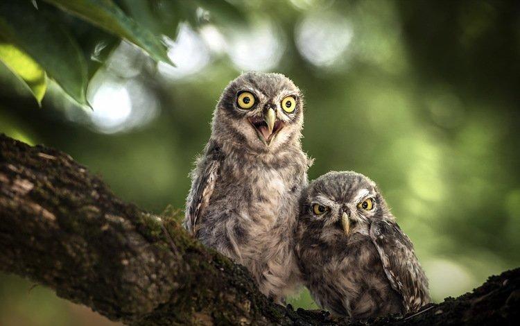 природа, птицы, совы, nature, birds, owls
