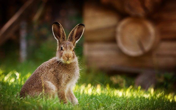 природа, фон, кролик, животное, заяц, nature, background, rabbit, animal, hare