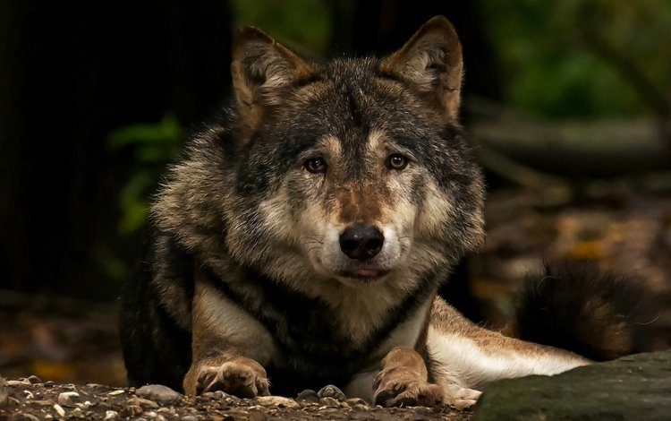 морда, взгляд, хищник, волк, face, look, predator, wolf