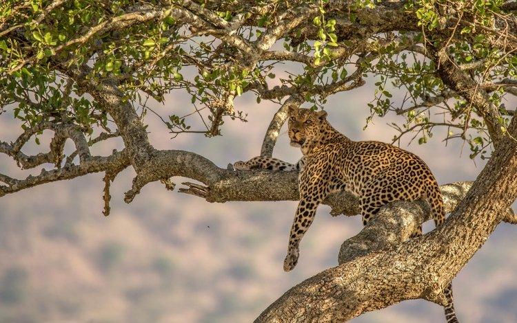 леопард, хищник, дикая кошка, leopard, predator, wild cat