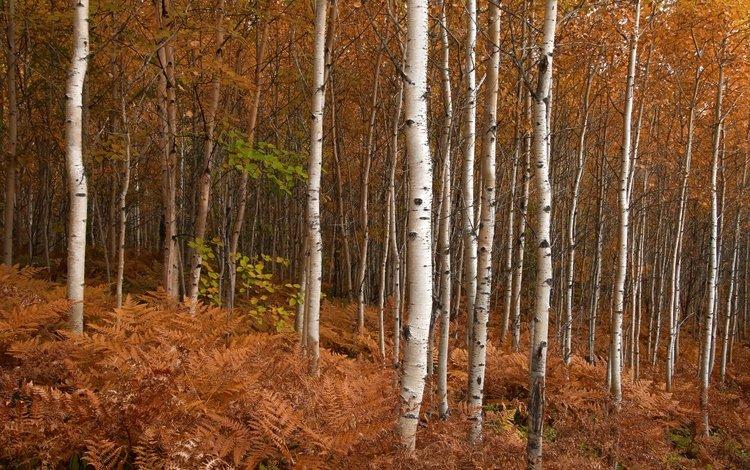 природа, березы, осень, nature, birch, autumn