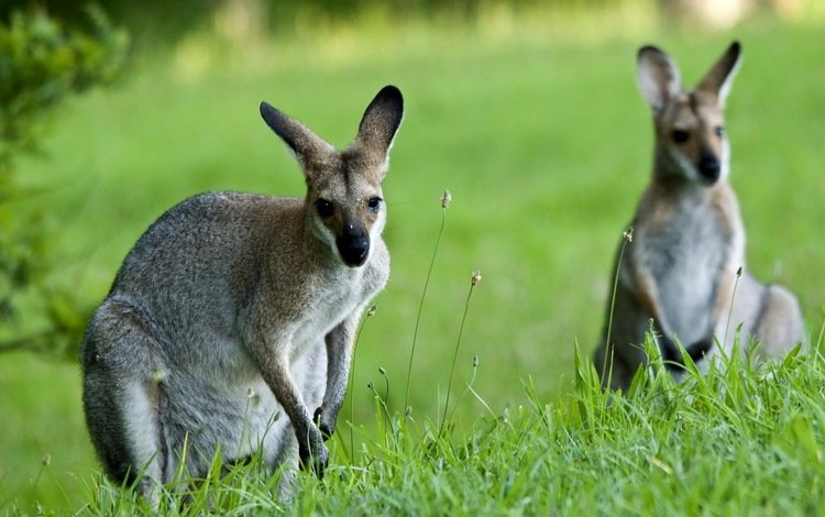 природа, фон, кенгуру, nature, background, kangaroo