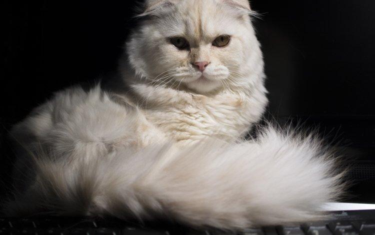 кошка, взгляд, хвост, скоттиш-фолд, шотландская вислоухая кошка, cat, look, tail, scottish fold, scottish fold cat
