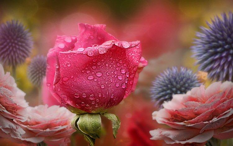 цветы, природа, роза, flowers, nature, rose