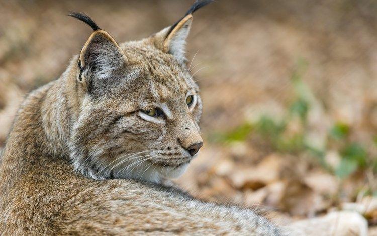 морда, рысь, кошка, ©tambako the jaguar, face, lynx, cat