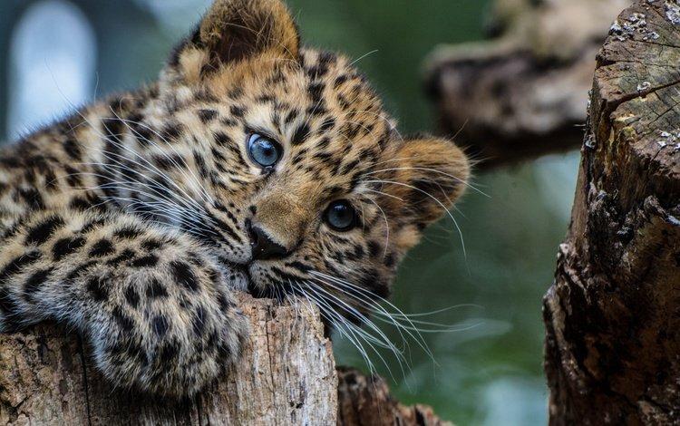 взгляд, леопард, хищник, животное, окрас, детеныш, look, leopard, predator, animal, color, cub