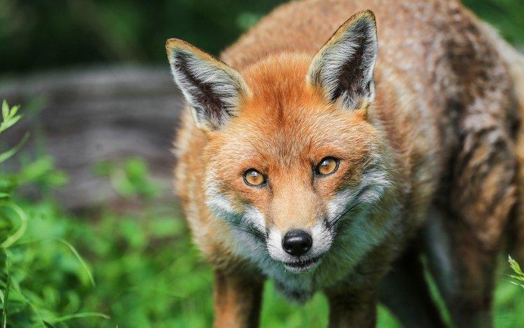 морда, портрет, лиса, хищник, лисица, face, portrait, fox, predator