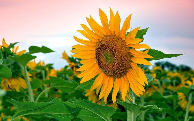 небо, листья, цветок, поле, лепестки, подсолнух, the sky, leaves, flower, field, petals, sunflower