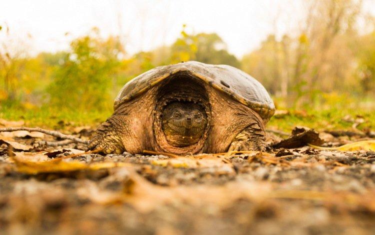 природа, фон, черепаха, nature, background, turtle