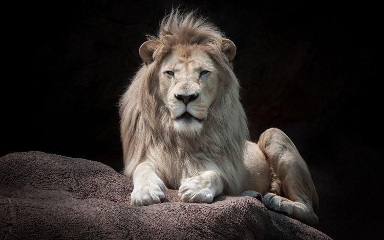 взгляд, хищник, камень, черный фон, лев, look, predator, stone, black background, leo