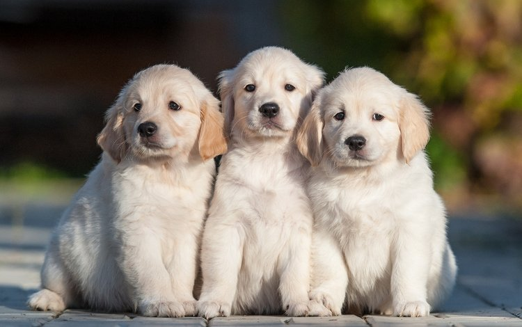 щенки, собаки, трио, золотистый ретривер, троица, puppies, dogs, trio, golden retriever, trinity