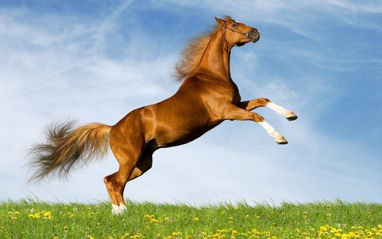 небо, лошадь, поле, лето, одуванчики, конь, коричневый, резвится, the sky, horse, field, summer, dandelions, brown, sports