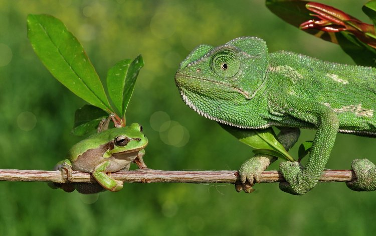 ветка, лягушка, хамелеон, branch, frog, chameleon