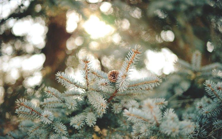 ветка, природа, хвоя, макро, шишка, иголки, branch, nature, needles, macro, bump