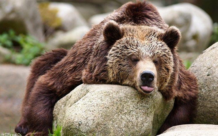 камни, медведь, отдых, животое, stones, bear, stay, ivote