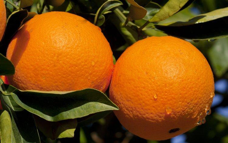 листья, фрукты, апельсины, плоды, цитрусы, leaves, fruit, oranges, citrus