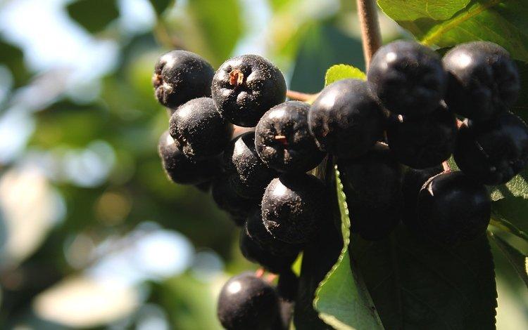 ягоды, гроздь, рябина, арония, черноплодная, berries, bunch, rowan, aronia