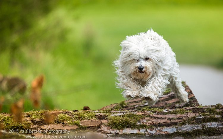 nature, dog, the havanese, bichon, ralf bitzer