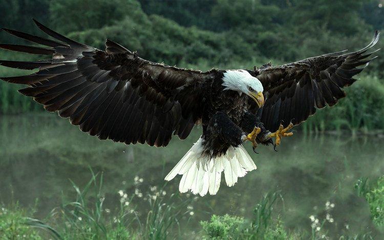 крылья, хищник, птица, орлан, белоголовый, wings, predator, bird, orlan, bald