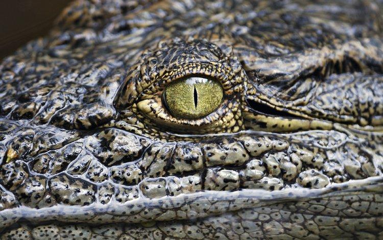 глаз, крокодил, рептилия, аллигатор, eyes, crocodile, reptile, alligator