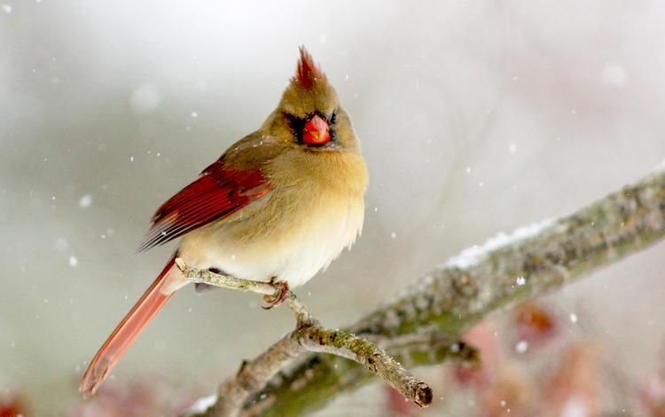 ветка, зима, птица, кардинал, птаха, branch, winter, bird, cardinal