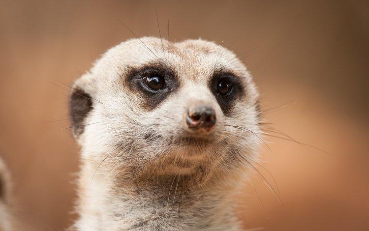 морда, взгляд, сурикат, face, look, meerkat