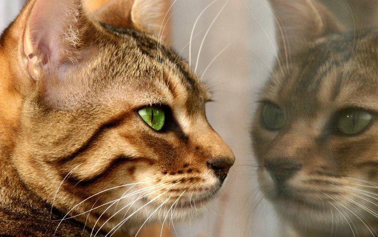 reflection, cat, fur, feline