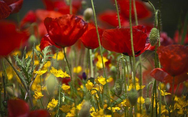 цветы, поле, лепестки, луг, мак, flowers, field, petals, meadow, mac