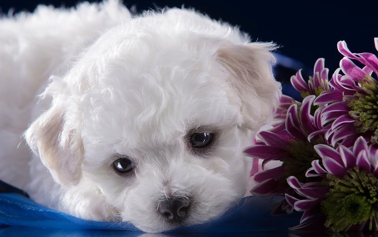 мордочка, белый, щенок, хризантемы, милый, бишон фризе, muzzle, white, puppy, chrysanthemum, cute, bichon frise