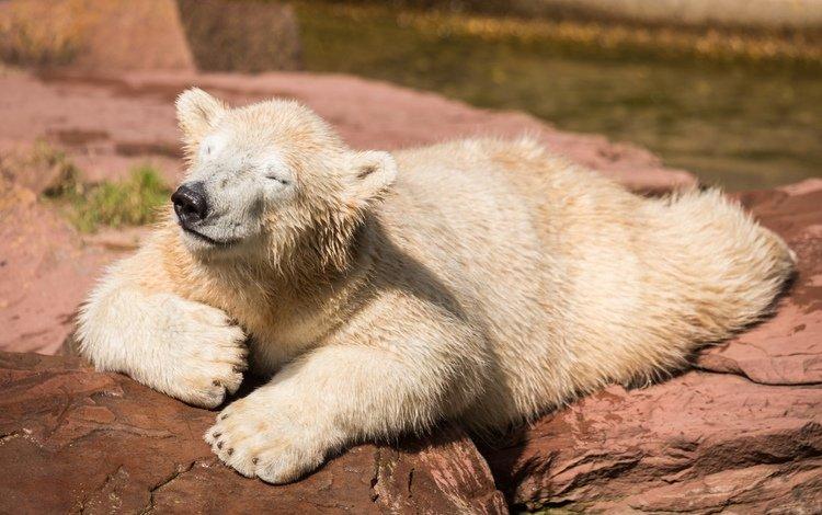природа, фон, медведь, белый, nature, background, bear, white