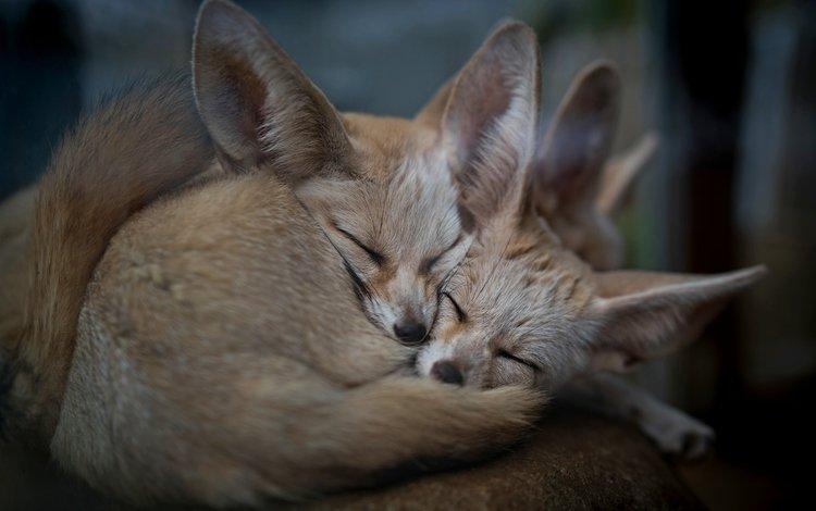 природа, животные, фенек, ушки, уют, лисички, nature, animals, fenech, ears, comfort, chanterelles